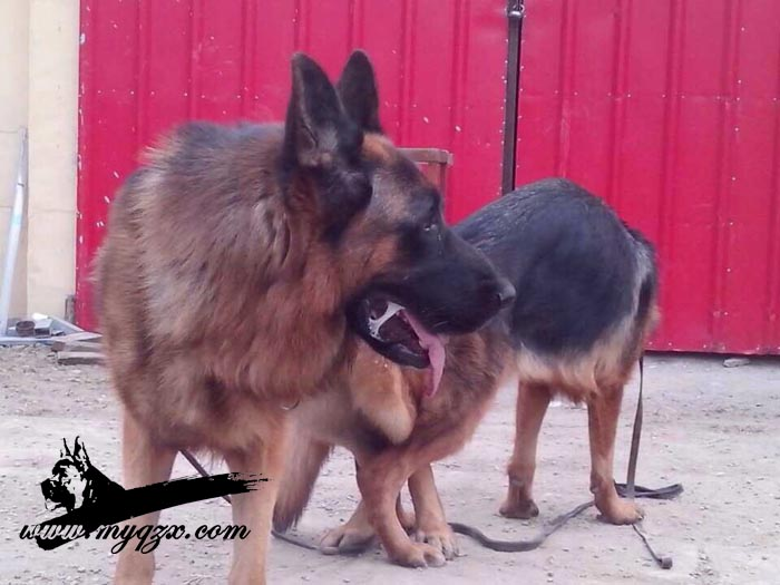 配种信息-永清犬舍-牧羊犬在线-德国牧羊犬信息交流
