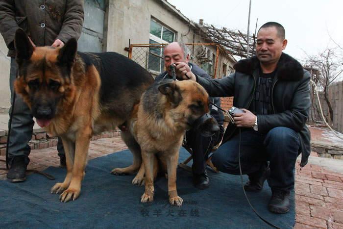 配种信息-庞大犬舍-牧羊犬在线-德国牧羊犬信息交流