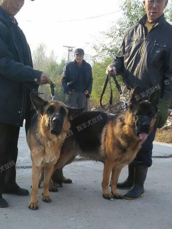 配种信息-大江犬舍-牧羊犬在线-德国牧羊犬信息交流