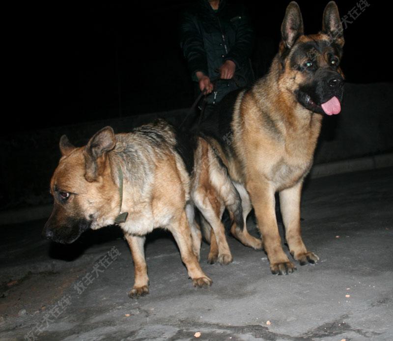 配种信息-致远犬舍-牧羊犬在线-德国牧羊犬信息交流