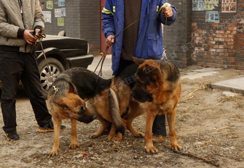 信息-跨尔玛犬舍-牧羊犬在线-德国牧羊犬信息交流