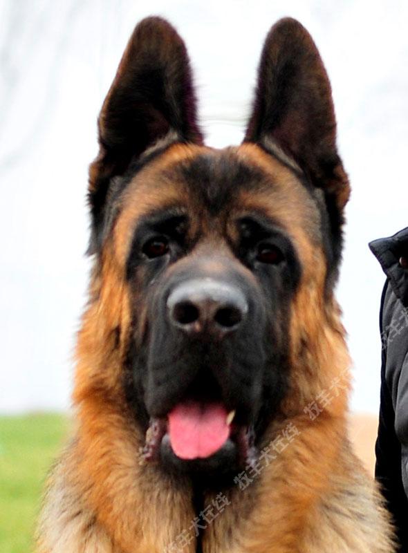 -德国牧羊犬信息交流平台