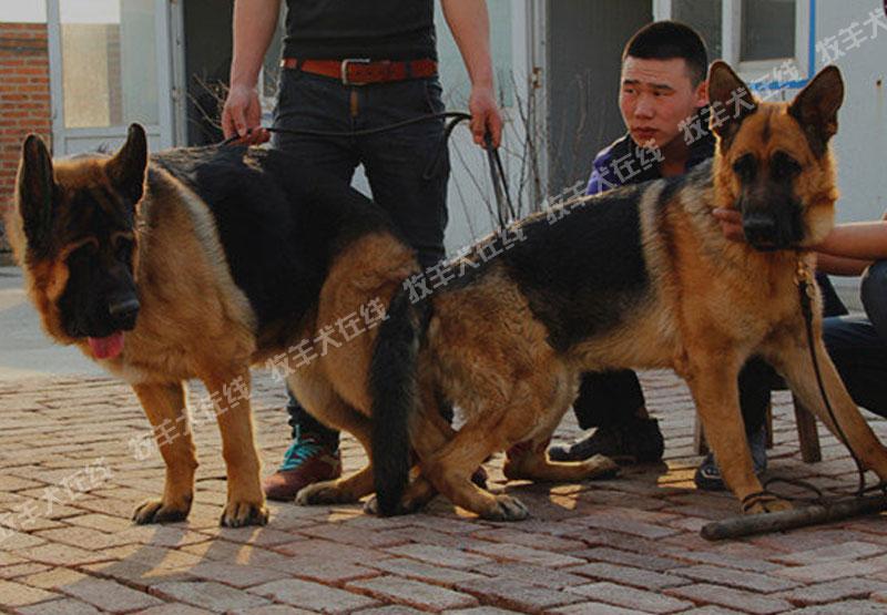 配种信息-戴利犬舍-牧羊犬在线-德国牧羊犬信息交流