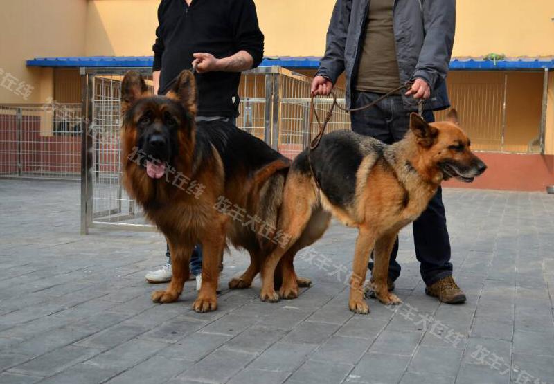 德国牧羊犬信息交流平台