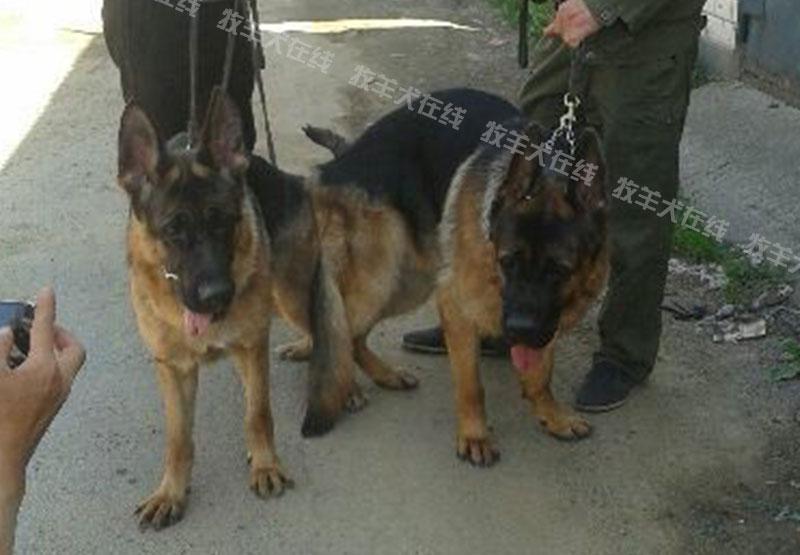 配种信息-鹏达犬业-牧羊犬在线-德国牧羊犬信息交流