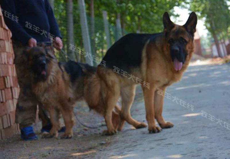 信息-波斯顿犬业-牧羊犬在线-德国牧羊犬信息交流