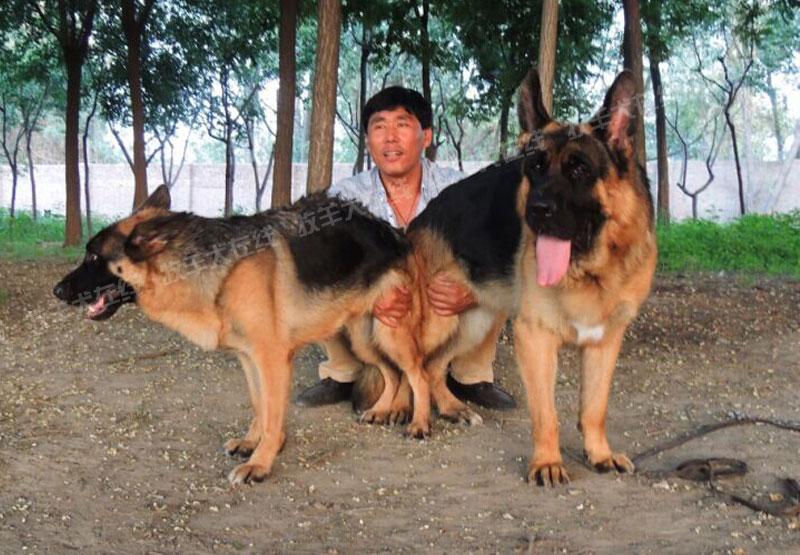 配种信息-辰峰犬业-牧羊犬在线-德国牧羊犬信息交流