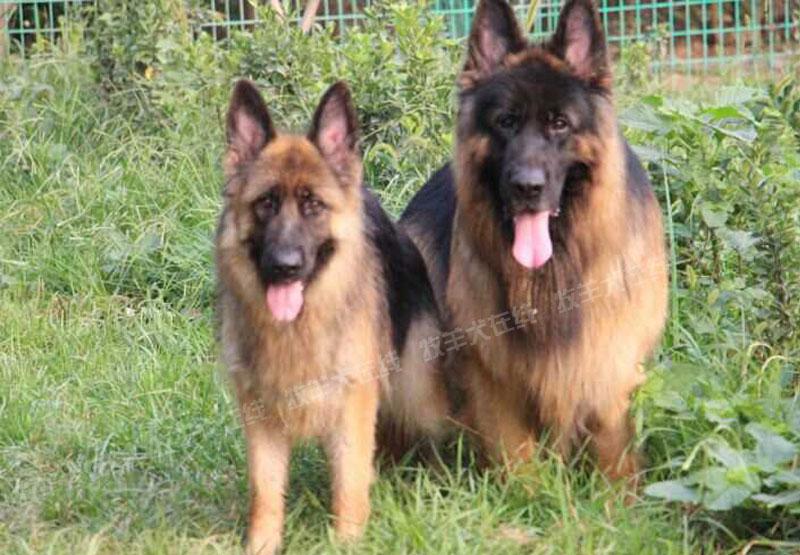 配种信息-亮点犬舍-牧羊犬在线-德国牧羊犬信息交流