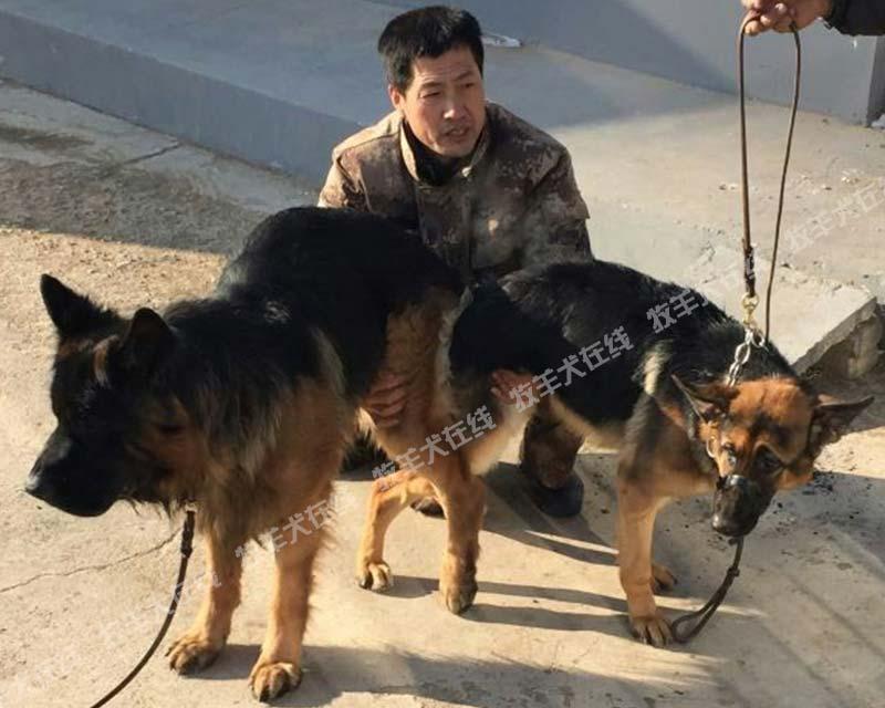 配种信息-红星犬业-牧羊犬在线-德国牧羊犬信息交流