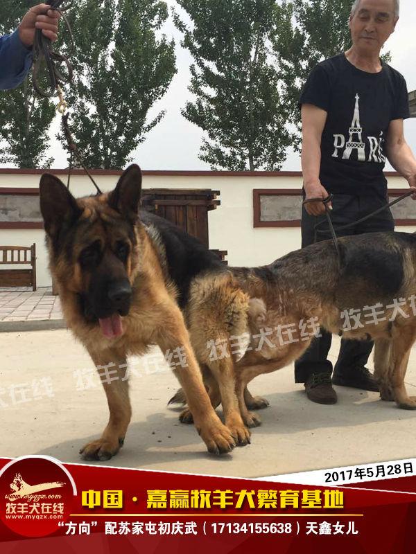 中国·嘉赢牧羊犬繁育基地 联系人:程启嘉  电话:13386874888 地址